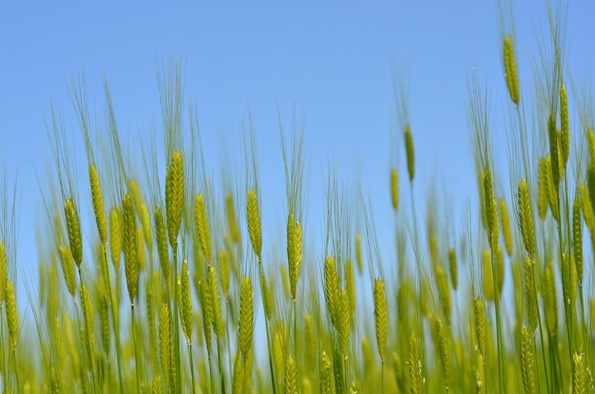 Alte Weizenarten wie das Einkorn haben hohe Gehalte an gesunden Inhaltsstoffen. (Bildquelle: © wwicki63 - Fotolia.com)