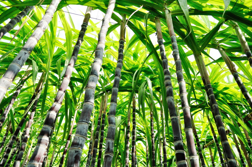 Zuckerrohr ist ein wichtiger Rohstoff zur Herstellung von Biokunststoffen, ein intensiver Anbau hat aber auch Nachteile für die Umwelt. (Bildquelle: © iStock.com/oasistrek)