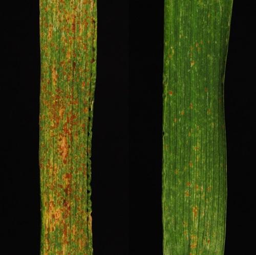 Rechts ist der Weizen, dank der übertragenen R-Gene, vor Rostpilzen fast vollständig geschützt. Links ist zum Vergelich Weizen ohne R-Gene abgebildet.