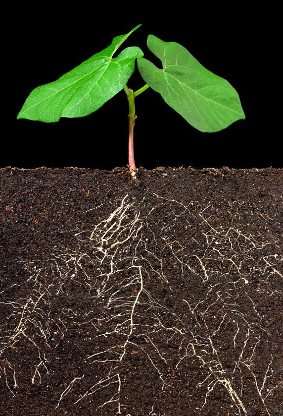 Pflanzen kommunizieren auch unterirdisch - über die Wurzeln.