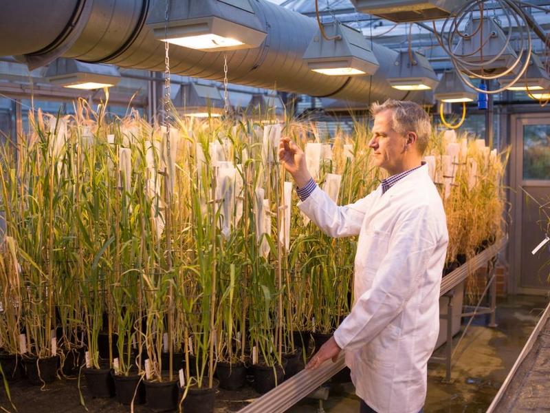 Nils Stein bei der Beobachtung von Getreide unter Gewächshausbedingungen.