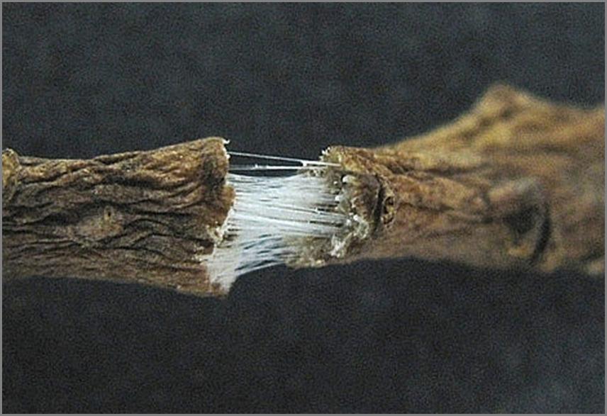 In den Leitgefäßen der Pfahlwurzel des russischen Löwenzahns fließt Latex, der zu Kautschukfäden wird.