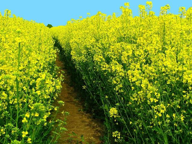 Besonders negativ wirken sich indirekte Landnutzungsänderungen laut einer Analyse auf die Klimabilanz von Biodiesel aus Raps, Palmöl, Soja und Sonnenblumen aus. (Quelle: © Karin Jung / pixelio.de).