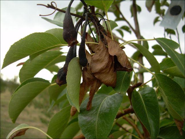 Feuerbrand ist eine Pflanzenkrankheit, die durch das Bakterium Erwinia amylovora verursacht wird und vor allem Kernobst wie Äpfel oder Birnen befällt.