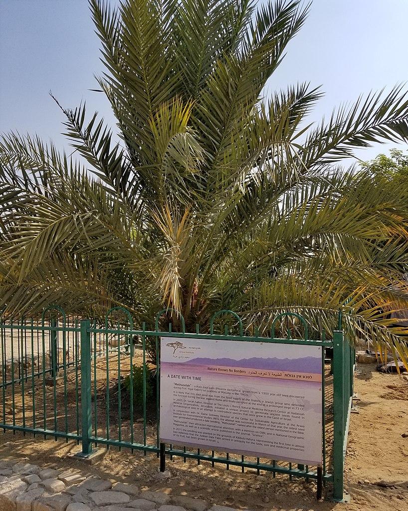 So sieht Methuselah, der erste gekeimte Samen, nach ca. 10 Jahren Wachstum aus. Er steht in Kibbutz Ketura, Israel.