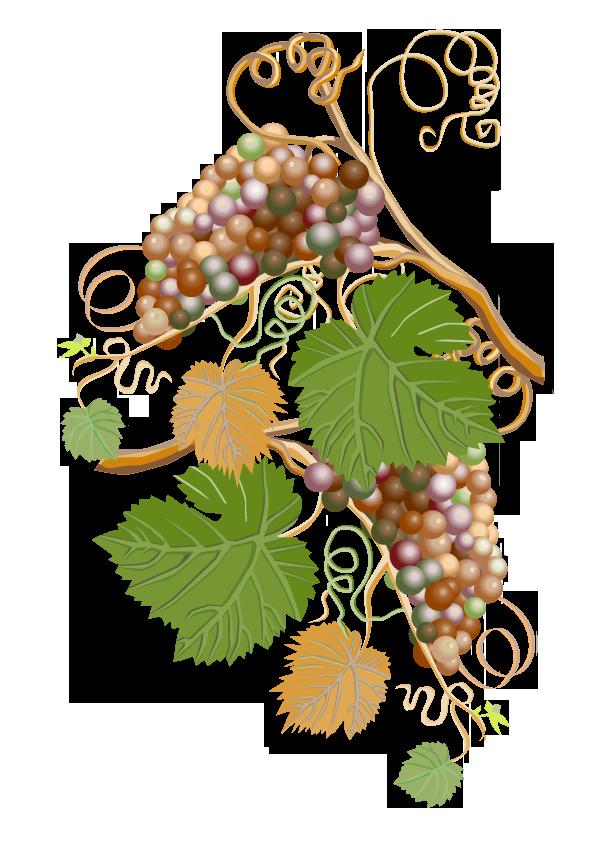 Pflanze: Weinrebe