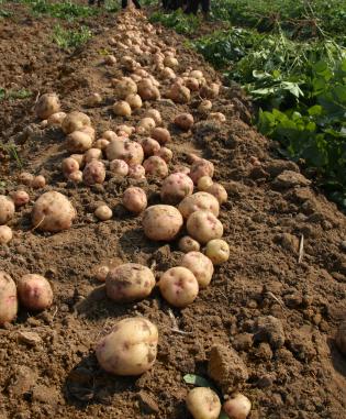 Die Züchtungs-methode der Cis- und Intragenese wird vor allem bei Kartoffeln, Äpfel und Melonen eingesetzt. (Quelle: © iStockphoto.com/Long Tran The)