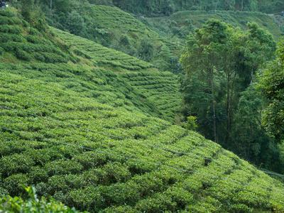 Als Darjeeling-Tee bezeichnet man Schwarzteesorten, die im indischen Darjeeling angebaut werden. Die Teeplantagen liegen auf 800 bis 2.000 Metern Höhe