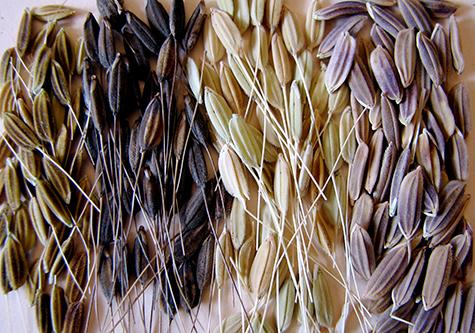 Dieses Bild zeigt eine Auswahl von verwilderten Reissorten.