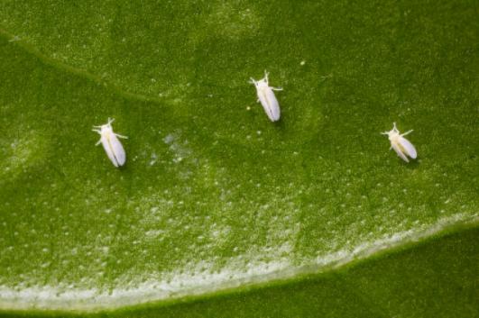 Weiße Fliegen sind gefürchtete Virenüberträger, die vielen Nutz- und Zierpflanzen schaden. (Quelle: © iStockphoto.com/ alohaspirit)