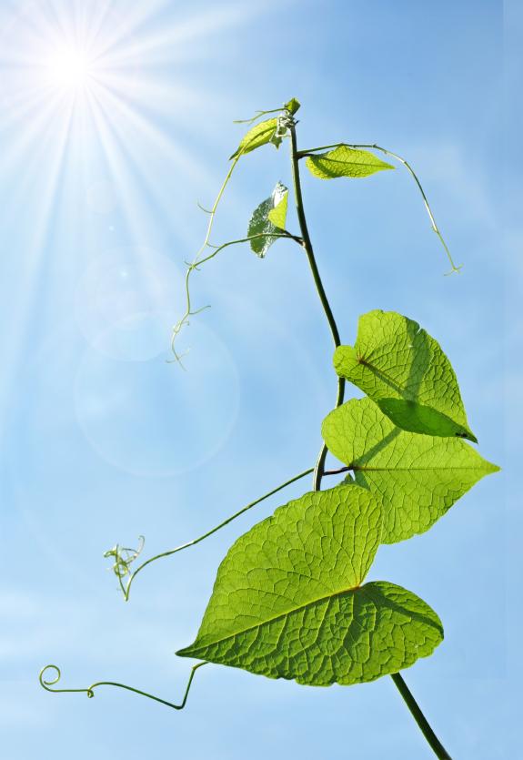 Pflanzen orientieren sich beim Wachstum auch an Umweltfaktoren wie Schwerkraft und Licht. Eine wichtige Rolle spielt dabei das Phytohormon Auxin.
