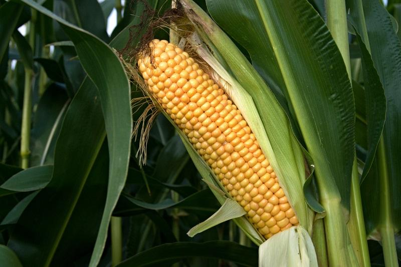 Die C4-Photosynthese hat sich bei Pflanzen über 60 Mal unabhängig voneinander entwickelt. Eine wichtige Nutzpflanze, die C4-Photosynthese betreibt ist Mais.