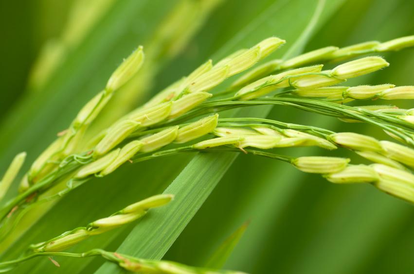 Die Reispflanzen reicherten die fremden Antikörper in ihren Samen an. (Quelle: © iStockphoto.com/ szefei)