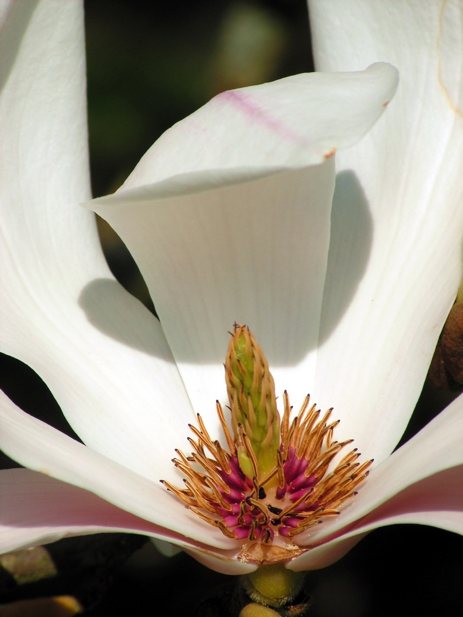 Magnolien gehören zu den ältesten Blütenpflanzen und blühten bereits zur Saurierzeit vor etwa 145 Millionen Jahren. Zu ihren urpsürnglichen Merkmalen gehören beispielsweise die schraubenförmige Anordnung der Blütenblätter und die unbestimmte Anzahl vieler Staubblätter, die im Laufe der Evolution immer weiter reduziert wurden.