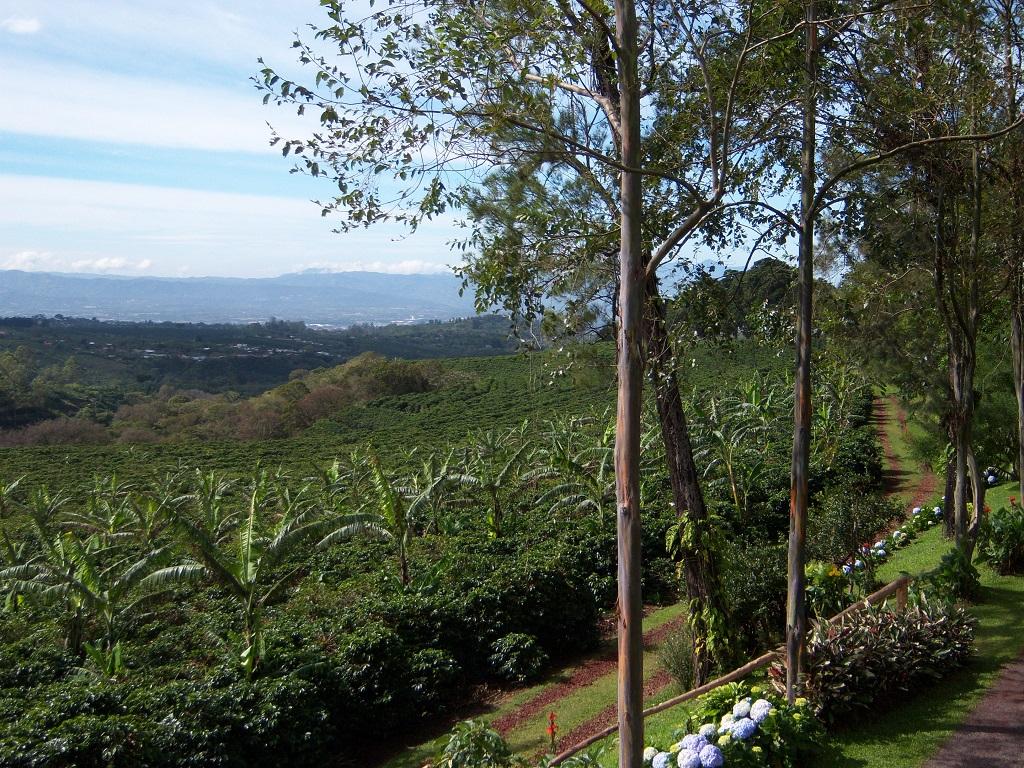 Auch auf Kaffeeplantagen in Costa Rica treibt der Kaffeebohrer sein Unwesen. Sehr zum Leid vieler Produzenten, Bauern und Familien. Schließlich gilt Kaffee aus Costa Rica als Exportschlager.