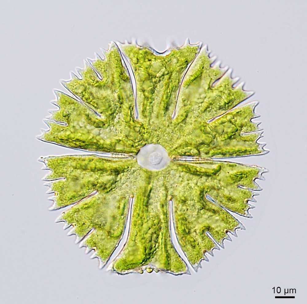 Zieralgen gehören zur Gruppe der Charophyta. Sie haben keine Geißeln zur Fortbewegung mehr.