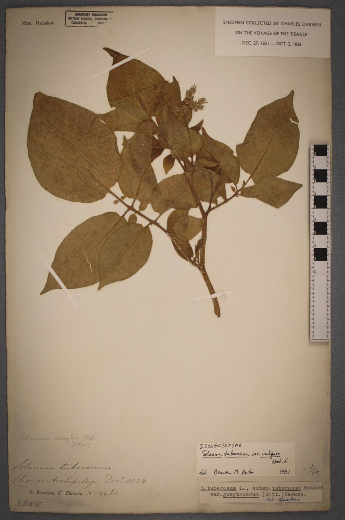 Ein Exemplar der Kartoffel (Solanum tuberosum), die auf dem Chonos-Archipel in Chile von Charles Darwin während seiner Expedition auf der HMS Beagle gesammelt und konserviert wurde.
