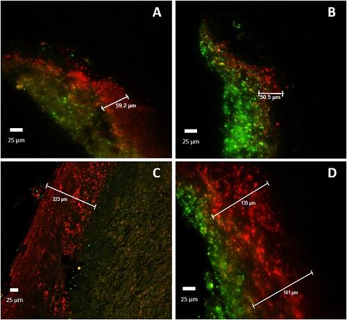 Unterm Mikroskop: So wirken sich flüchtige organische Verbindungen von Mikroben auf die Lebensfähigkeit von Sklerotien vonSclerotinia sclerotiorum aus. Grün zeigt intakte Hyphen; Rot zeigt beschädigte Hyphen. A und B: unbehandelt; C: mit Pseudomonas helmanticensis Sc-B94 behandelte; D: mit Buttiauxella behandelte.