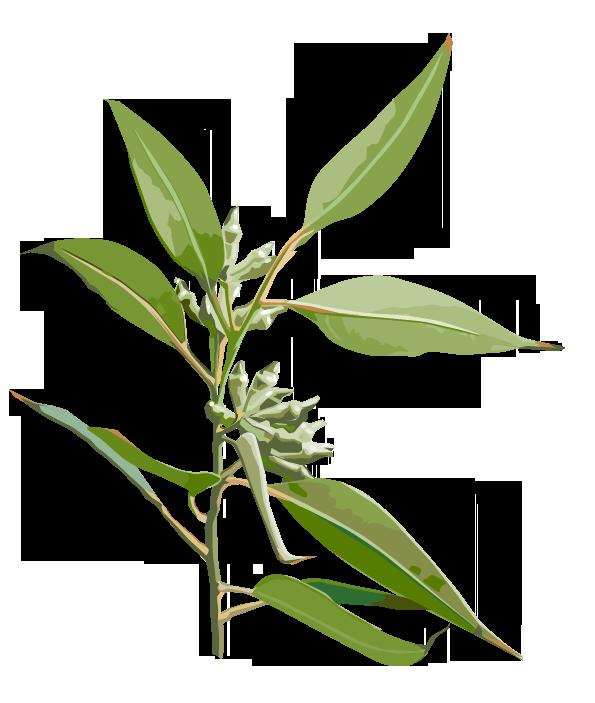 Pflanze: Eukalyptus