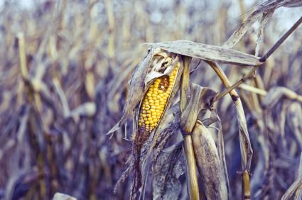 Pflanzenkrankheiten können große Teileder Ernte vernichten.
