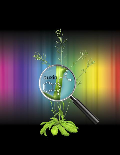 In der Ackerschmalwand entdeckten Forscher wie Pflanzen Lichtinformation in ein hormonelles Programm übersetzen. (Quelle: © Salk Institute for Biological Studies)