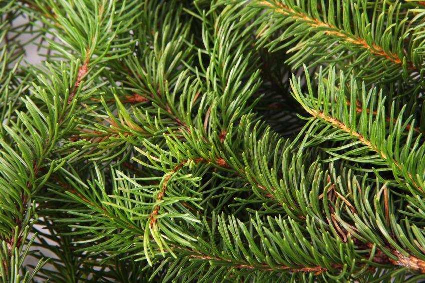 In ihrem riesigen Genom (20 Gb) verbirgt die Fichte nur 28.354 Gene. Der Rest sind nicht codierende Sequenzen, die der immergrüne Nadelbaum im Laufe der Evolution angehäuft hat. (Quelle: © iStockphoto.com/BaMiNi)