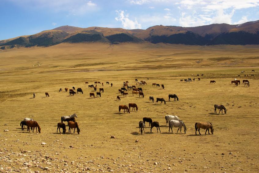 Nach der Domestizierung der Pferde im Gebiet von Kasachstan wurden diese als Reittier und Milchlieferant genutzt.