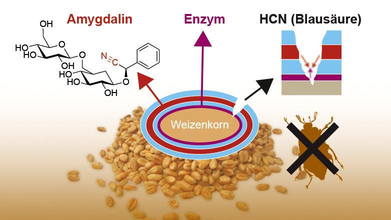 Beim Fraß werden die einzelnen Komponenten zu Blausäure (Cyanwasserstoff) umgewandelt.