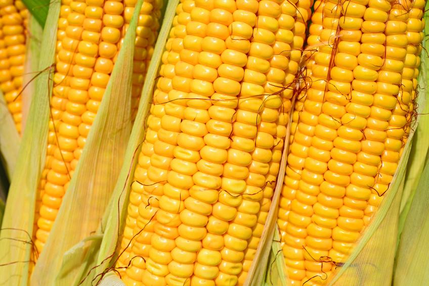 Der kultivierte Mais enthält nur drei Milligramm Eisen pro 100 Gramm. Im Vergleich: Eine traditionelle Kulturpflanze wie Quinoa hat einen Eisengehalt von acht Milligramm.