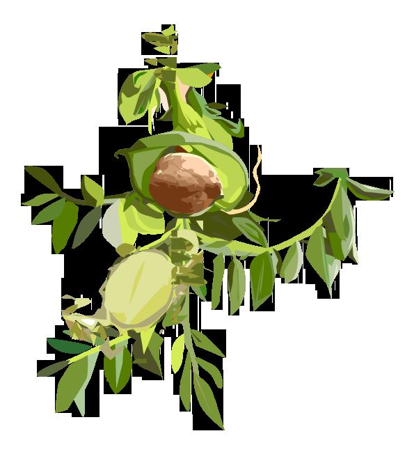 Leguminosen – Leguminoseae