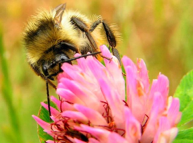 Eine Wiese ohne Klee lockt keine Bienen und Hummeln, wichtige Bestäuber, an(Quelle: © Roberto Reisch / PIXELIO www.pixelio.de).