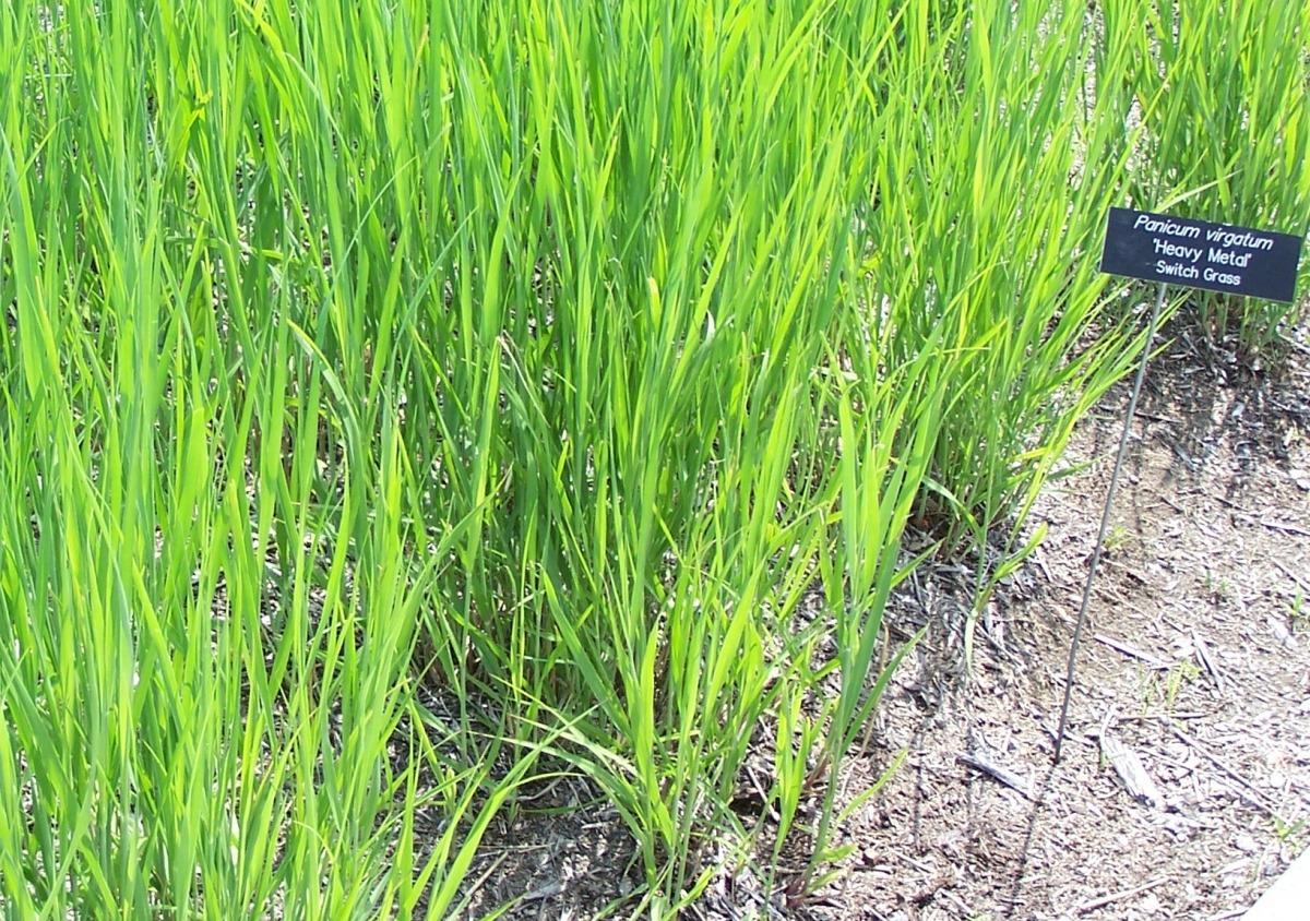 Rutenhirse - Hoffnung der Bioenergiebranche. (Quelle: © SEWilco / wikimedia.org; CC BY-SA 3.0)