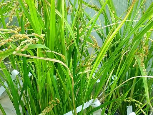 Die neue Reislinie im Gewächshaus. (Bildquelle: © ETH Zürich / zVg Navreet Bhullar)