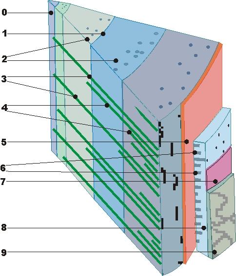 Holzquerschnitt: 0 Mark, 1 Jahresringgrenze, 2 Harzkanäle, 3 primäre Holzstrahlen, 4 sekundäre Holzstrahlen, 5 Kambium, 6 Holzstrahlen des Bastes, 7 Korkkambium, 8 Bast, 9 Borke.