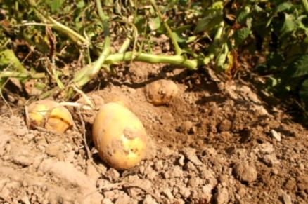 Ökologischer Kartoffelanbau erfreut sich trotz verstärkter Arbeitsintensivität wachsender Beliebtheit.