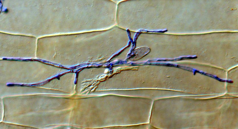 Sind die Pilzfäden einmal eingedrungen, bringt der Pilz die Pflanzenzelle durch Aktivierung des RACB Proteins dazu, pflanzliche Plasmamembran um ihn herum zu bauen. Es entsteht das Haustorium, das Ernährungsorgan des Pilzes. Die Pilzfäden auf der Blattoberfläche enthalten Eiweiße, die für die Aufnahme blau angefärbt wurden.