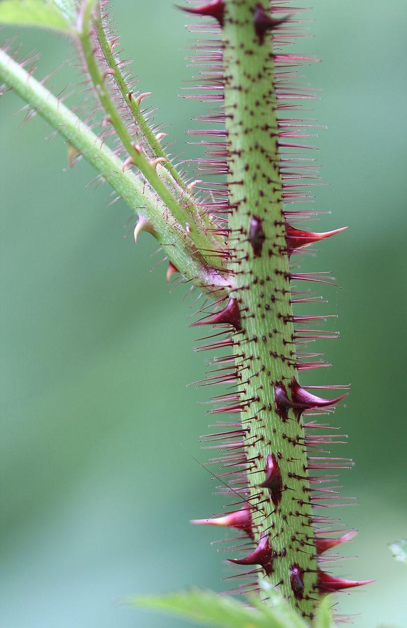 Rubus Sumatranus, ein Verwandter der Himbeere, lässt eindrucksvoll die
