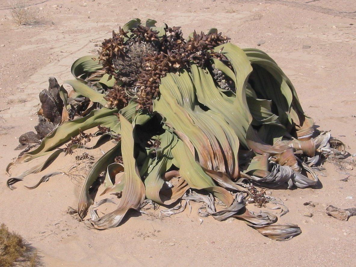 Welwitschia mirabilis in Namibia. (Bildquelle: Freddy Weber / wikimedia.org / gemeinfrei)