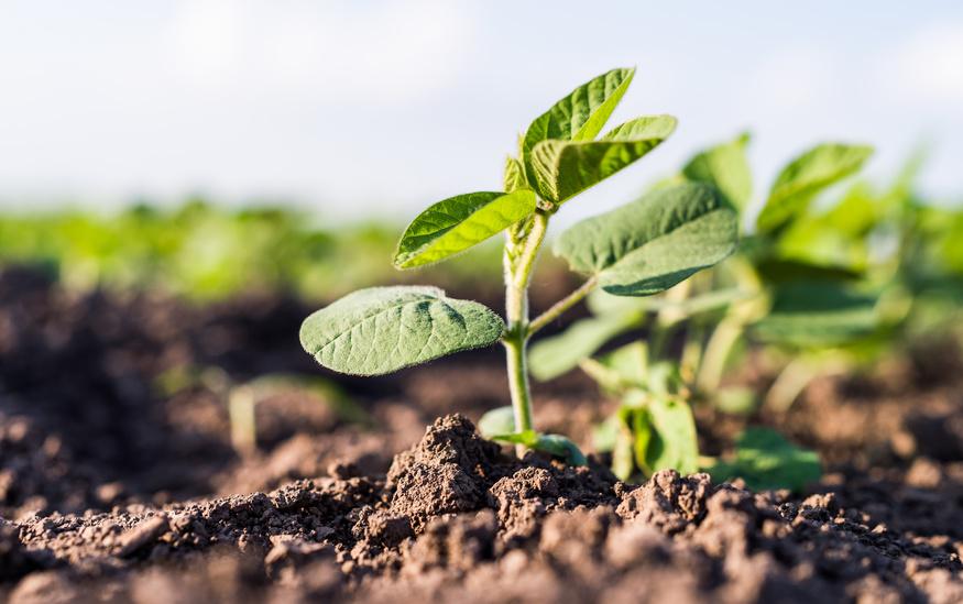 Sojabohnen sind für die Symbiose mit stickstofffixierenden Bakterien bekannt. (Bildquelle: © Dusan Kostic / Fotolia.com)