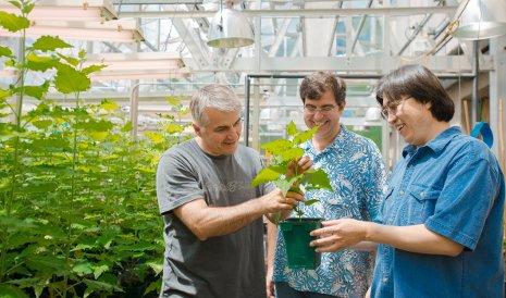 Victor Busov (links), Yordan Yordanov (mitte) und Hairong Wei (rechts) untersuchten Pappeln und die genetischen Grundlagen des gesteigerten Wurzelwachstums bei niediger Stickstoffverfügbarkeit.