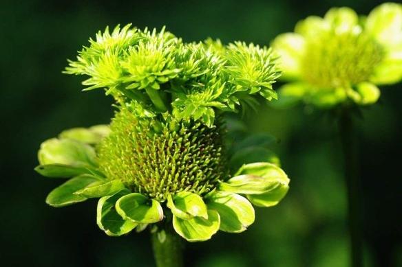Phytoplasmenbefall: Bei dieser Pflanze führt es zu Blütenmissbildungen, die eine geschlechtliche Fortpflanzung nicht mehr ermöglichen. (Bildquelle: © Alan Lorance)