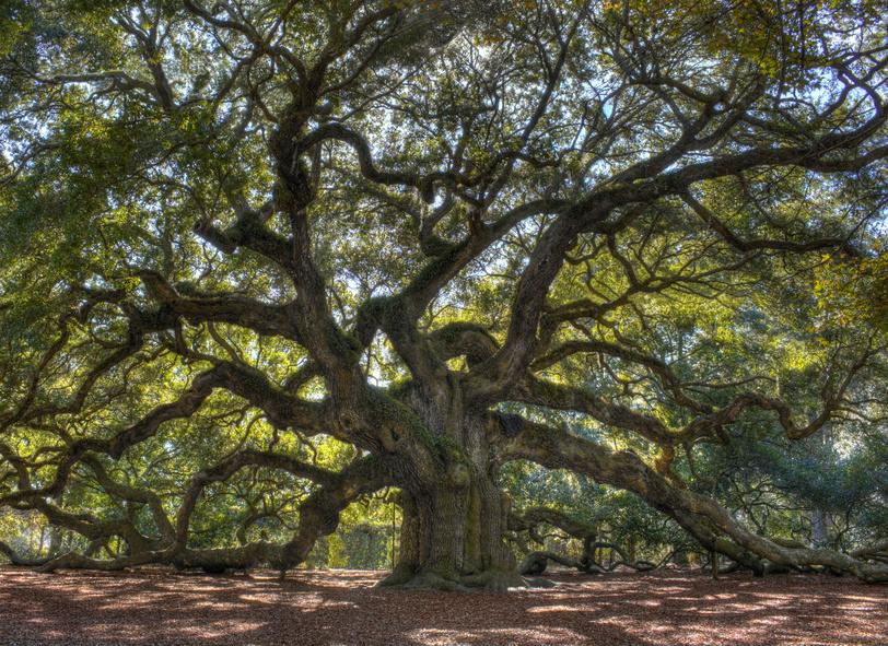 Bäume wie dieser sind Hunderte von Jahren alt. (Bildquelle: © dcorneli / Fotolia.com)