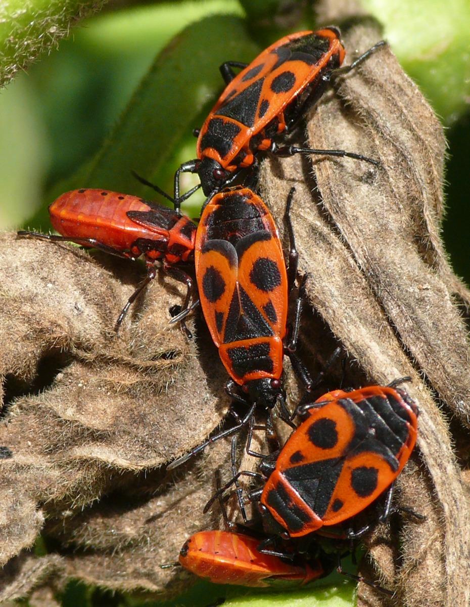 Gemeine Feuerwanzen (Pyrrhocoris apterus) sind in Europa heimisch und nicht schädlich. Anders dagegen ihre Verwandten in Afrika, Asien und Amerika. (Quelle: © Martin Kaltenpoth / MPI chem. Ökol.)