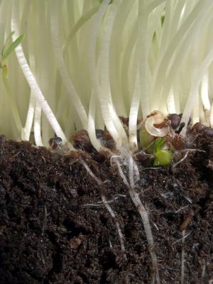 Biokontrollaktive Mikroorganismen im Boden sind gut für die Pflanzengesundheit.