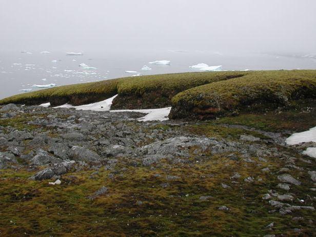 Auch in der Antarktis wachsen Moose. Hier eine Moosbank auf der subantarktischen Insel Signy Island. (Quelle: © P. Boelen)