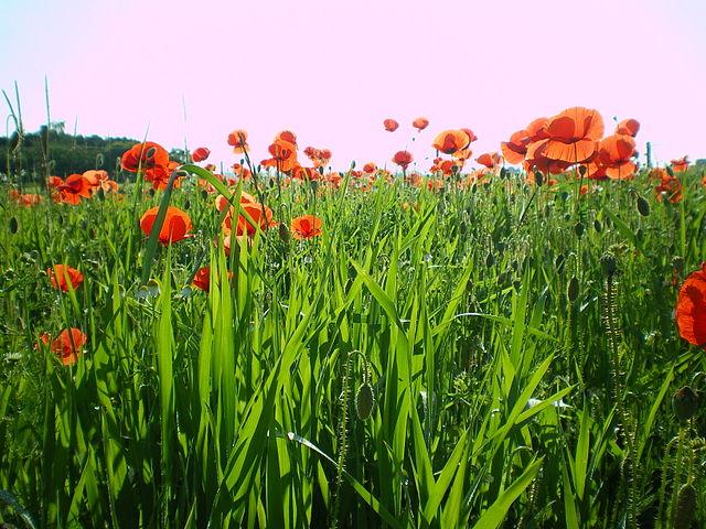 Wildpflanzen sind robuster gegenüber klimatischen Veränderungen als Kulturpflanzen. Durch Züchtung auf hohe Erträge haben manche Kulturpflanzen verlernt, mit längeren Dürreperioden umzugehen.