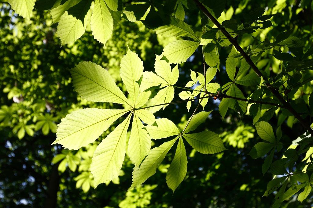 Die Natur macht's vor, der Mensch bald besser? Pflanzen gewinnen im Rahmen der Photosynthese mit Hilfe von Sonnenlicht Wasserstoff. (Bildquelle: © Mika Abey / pixelio.de)