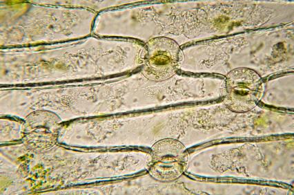 Spaltöffnungen unter mikroskobischer Betrachtung.