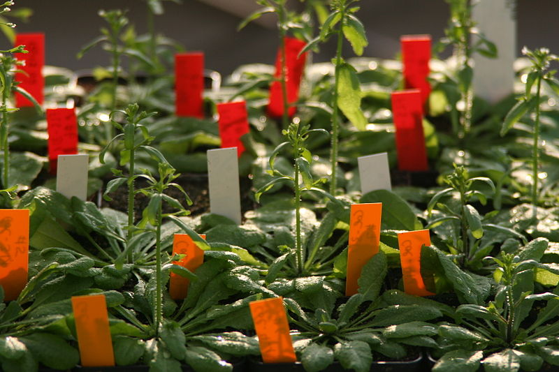 Zur Untersuchung der Hitzereaktionen von Pflanzen wird häufig Arabidopsis genutzt. Das Genom der Pflanze ist vergleichsweise einfach und bereits vorllständig entschlüsselt.
