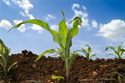 Mais, eine der wichtigsten Nutzpflanzen.